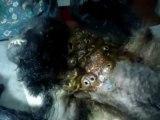 Singe infecté par des larves de mouches