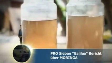 Moringa Oleifera - Bio Moringa vom MoringaGarden Teneriffa