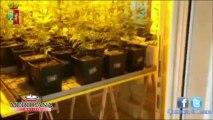 """Coltivava """"a ciclo continuo"""" la marijuana, sequestrate  450 piante. Arrestato 38enne romano."""