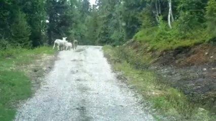 Un loup se fait charger par un mouton.
