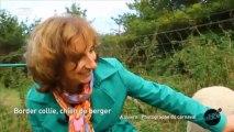 Chien de berger : le border collie