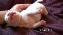 Chiot n°1 de la 11ème portée de Staffordland Elevage exclusif de staffordshire bull terrier ( staffie ) vidéo