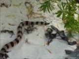 Nouvelle Calédonie, serpents tricots rayés sur l'ilot nokanhui