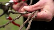 Comment faire une greffe anglaise sur un fruitier