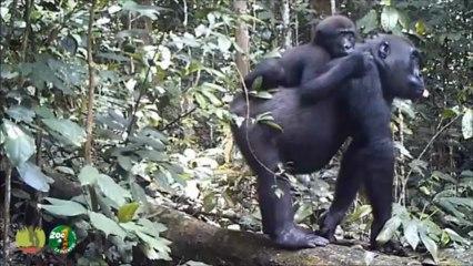 Les gorilles de Bambidie Part IX