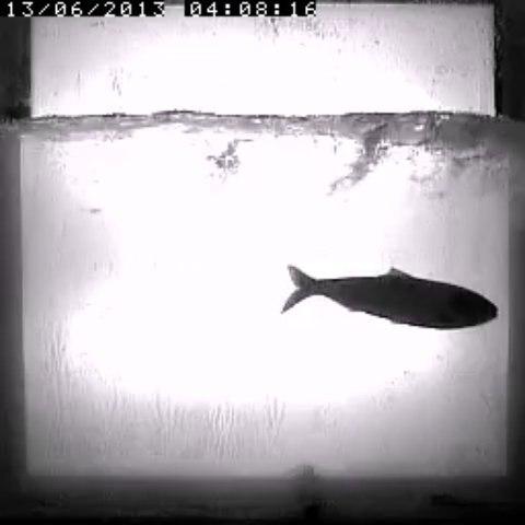 Passage d'alose à Roanne 2013