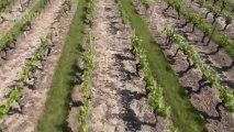 Vidéo aérienne des vignes du vignoble de Saint Saturnin sur Loire