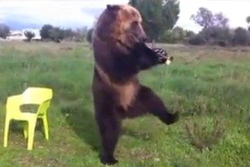 Un ours peut jouer de la trompette et faire du hula hoop !