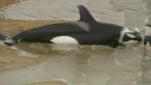 Killer whales beached off Australian coast