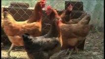 Insolite: des poules pour réduire les dechets (Pays de l'Or)