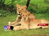 Tv9 Gujarat - The Asiatic lions hold their ground in Gir forests