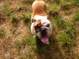 Elliott le bulldog : assis - reste - ici - assis - couché - assis - reste !