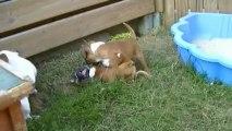 47. Chiot Staffordshire bull terrier vidéo 47 de la 11ème portée de STAFFORDLAND