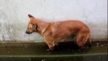 Un chien s'endort debout