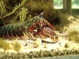 Une crevette géante s'offre une palourde comme repas