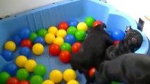 31. Chiot staffordshire bull terrier vidéo 31 de la 12ème portée de STAFFORDLAND