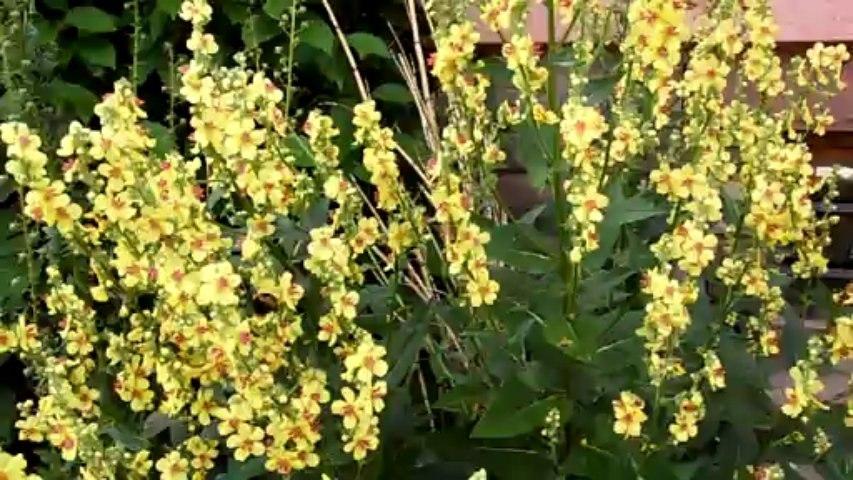 Les bourdons sur les Molènes de mon jardin...
