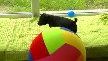 34. Chiot staffordshire bull terrier vidéo 34 de la 12ème portée de STAFFORDLAND