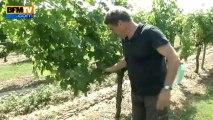 Intempéries: les viticulteurs sinistrés craignent une perte sans précédent - 05/08