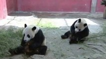 Giant pandas and monkeys tuck into ice creams at the zoo