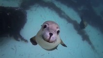 GoPro Diving with Ocean Hounds!! How cute are these sea lions!!