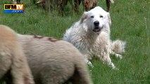 Les attaques de loups ravagent les élevages dans les Alpes-Maritimes - 06/08