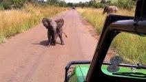 Un bébé éléphant qui charge une Jeep!! Trop mignon le ptit bout!!!