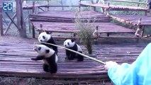 Les pandas de chengdu: le training des pandas