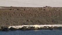 Sur sa route, l'équipage de Tara a croisé un ours polaire. Les terres de François-Joseph sont une zone de reproduction et d'hibernation des ours polaires © A.Deniaud/francetv nouvelles écritures/Thalassa/Tara Expéditions