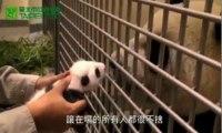 Un bébé panda retrouve sa mère, un mois après sa naissance