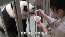 Un bébé panda retrouve sa mère un mois après sa naissance