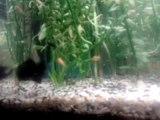 Aquarium - Alevins Black Molly, Guppy, Molly Et Platy