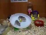 Quand deux hamsters se retrouvent dans une seule roue