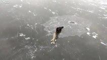 Vive le règne animal.. Un furet essaye de voler un brochet pêché sous la glace!!