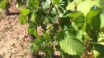 Le point sur l'état des vignes à quelques semaines des vendanges en Alsace