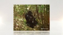 Gorillas: Get a Chance to Live with the Mountain Gorillas (562) 889-4016
