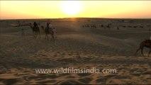 1655.Camel Safari - Sam sand dunes