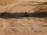 486.Mongoose and kid mongoose