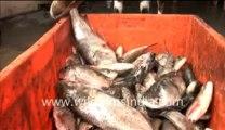 Goat eating fish_1-MPEG-4 800Kbps