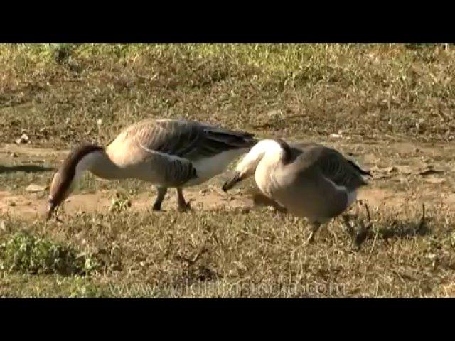 DVD-175-fauna-geese-1-2