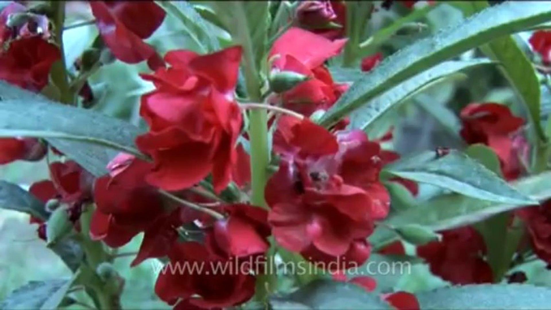 DVD-230-flowers-balsam-1-1