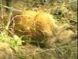 Boar eating boar-sariska-BD-no name-2