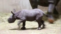 Endangered rhino born at Chicago zoo