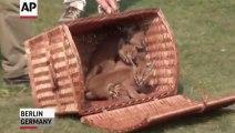 4 bébés Lynx sont nés dans un Zoo d'Allemagne... Et ils sont trop trop beaux!
