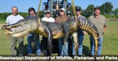 Biggest Alligator Ever Caught By Hunters in Mississippi