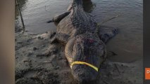 Monster Record-Breaking Alligators Caught on Same Day