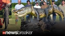 MAJOR GATOR: Amazing Pics of 727 lb Gator Caught by Hunters in Mississippi