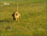 Perros cobradores de presas