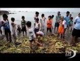 Carcassa di squalo balena da 300 kg si arena in spiaggia a Manila. L'esemplare era lungo 5 metri