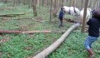Débardage de bois coupé par des chevaux boulonnais